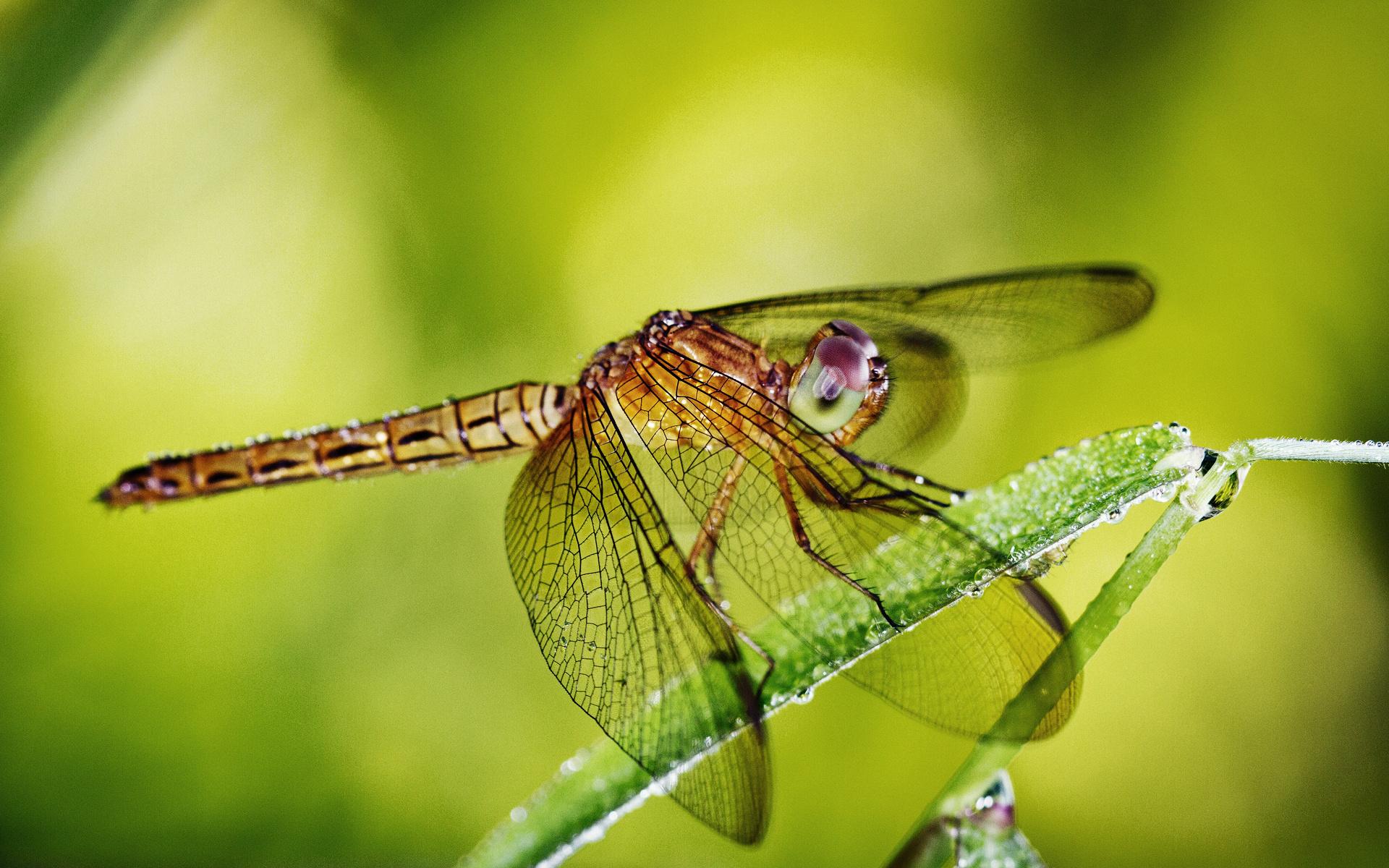 стрекоза, глаза, крылья