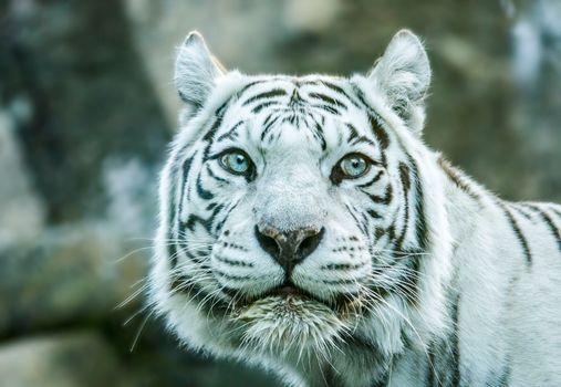 Фото бесплатно тигр, белый, бенгальский