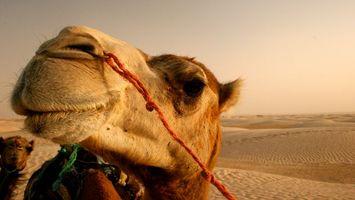 Фото бесплатно верблюд, песок, пустыня