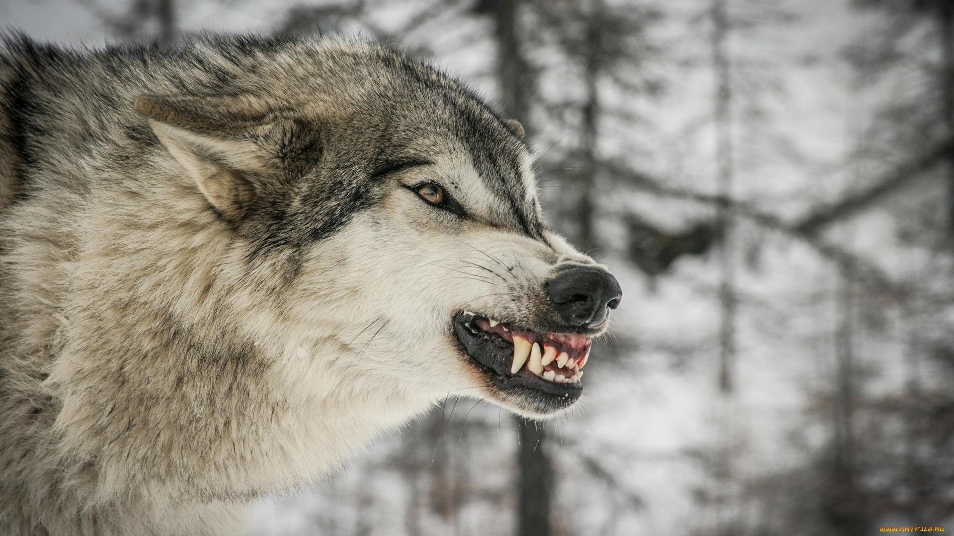 волк, глаза, уши