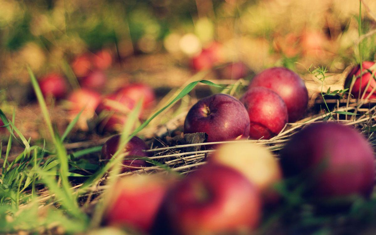 Фото бесплатно яблоки, урожай, сад, трава, луг, поле, красные, спелые, еда, природа, природа