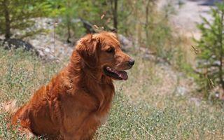 Фото бесплатно ретривер, на природе, собака