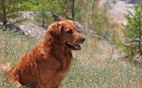 Заставки ретривер, на природе, собака