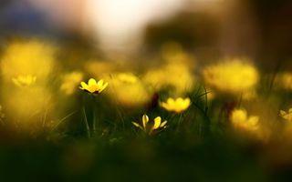 Бесплатные фото трава,весна,цветы,природа,размытость,чистотел