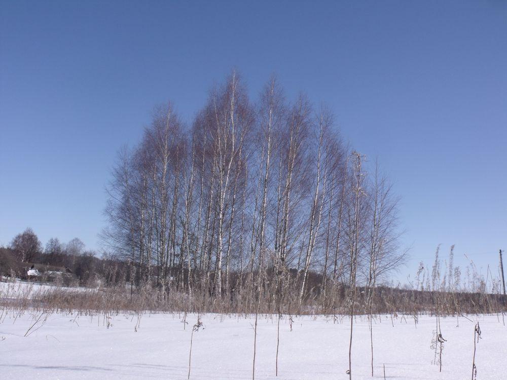 Фото бесплатно деревья, березы, зима - на рабочий стол