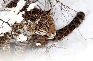 Заставки кошка, ягуар, снег, зима, сугробы, животные