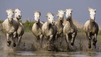 Фото бесплатно лошади, белые, вода