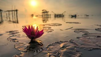 Фото бесплатно озеро, цветок, лотос, листья, сваи, солнце, закат, природа