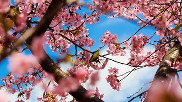 Бесплатные фото птичка,желтая,перья,клюв,вишня,цветет,птицы