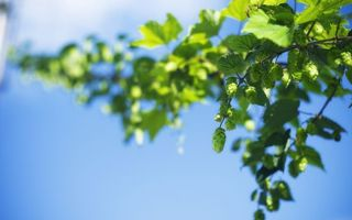 Photo free plant, hops, stem