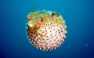 Обои рыба, колючки, шар, надулась, море, океан, вода, глаза, плавники, подводный мир