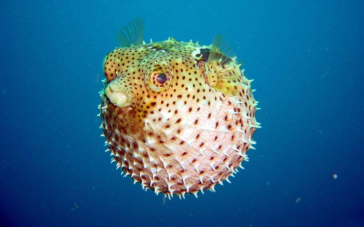 Фото бесплатно рыба, колючки, шар - на рабочий стол