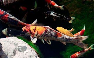 Фото бесплатно рыбка, чешуя, плавники, хвост, глаза, камни, аквариум, семья, водоросли, вода, дно, подводный мир