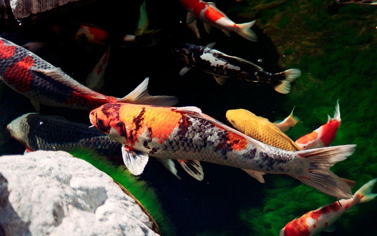 Фото бесплатно рыбка, чешуя, плавники, хвост, глаза, камни, аквариум, семья, водоросли, вода, дно, подводный мир, подводный мир