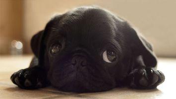 Бесплатные фото щенок,французский,бульдог,черный,морда,глаза,лапы