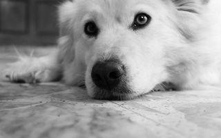 Бесплатные фото щенок,пес,шерсть,нос,глаза,лапы,рот