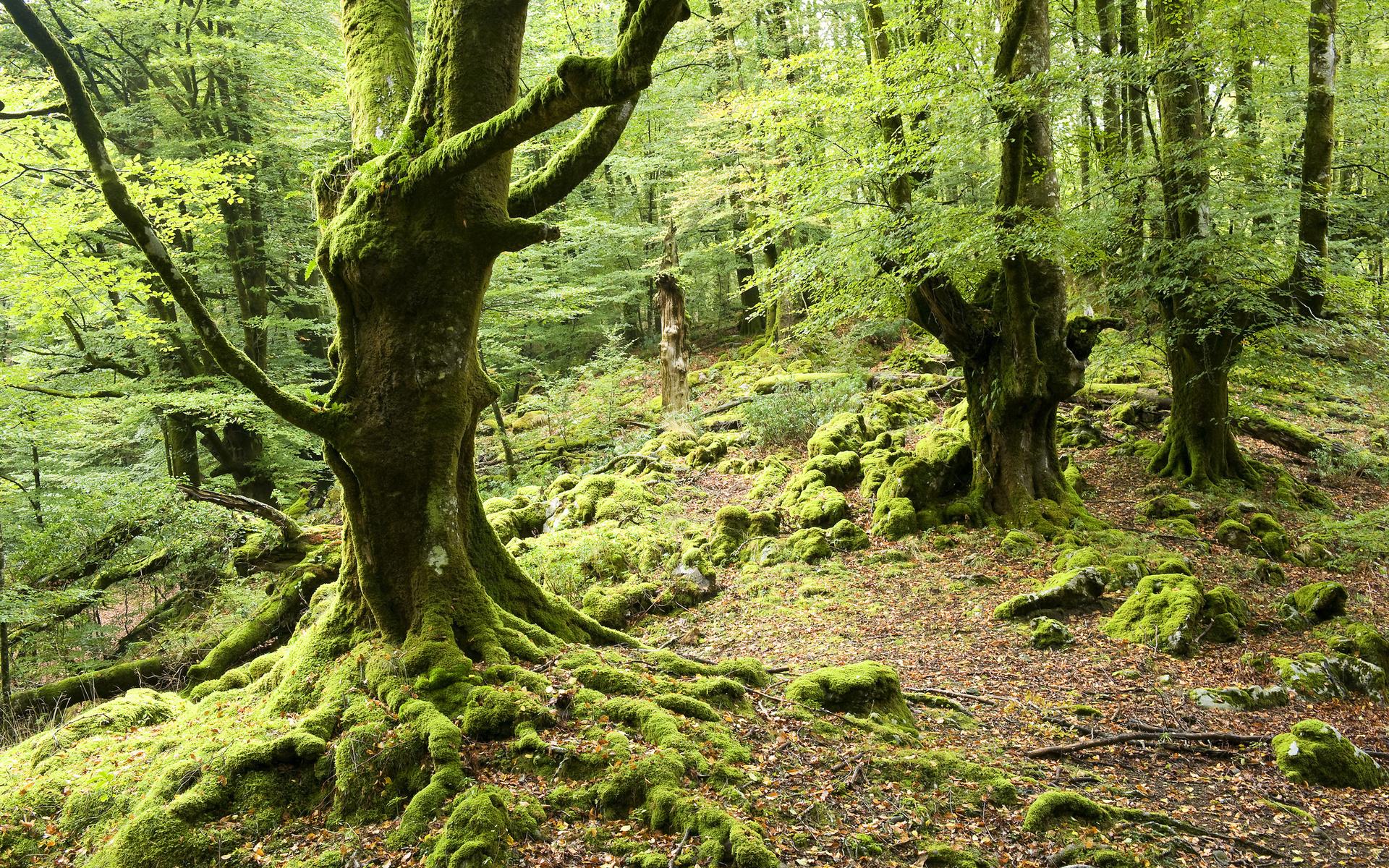 Обои рабочего стола мох и лес