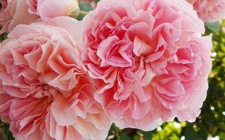 Бесплатные фото цветки,лепестки,бутоны,пионы,листья,букет,цветы