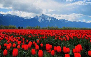Обои тюльпаны, красные, поле, стебли, листья, зеленые, деревья, горы, снег, цветы