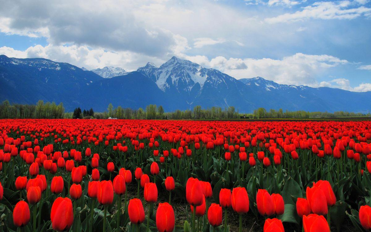 Фото бесплатно тюльпаны, красные, поле, стебли, листья, зеленые, деревья, горы, снег, цветы, цветы