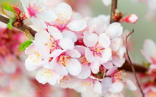 Заставки вишня,сакура,цветки,бутоны,лепестки,весна,тепло