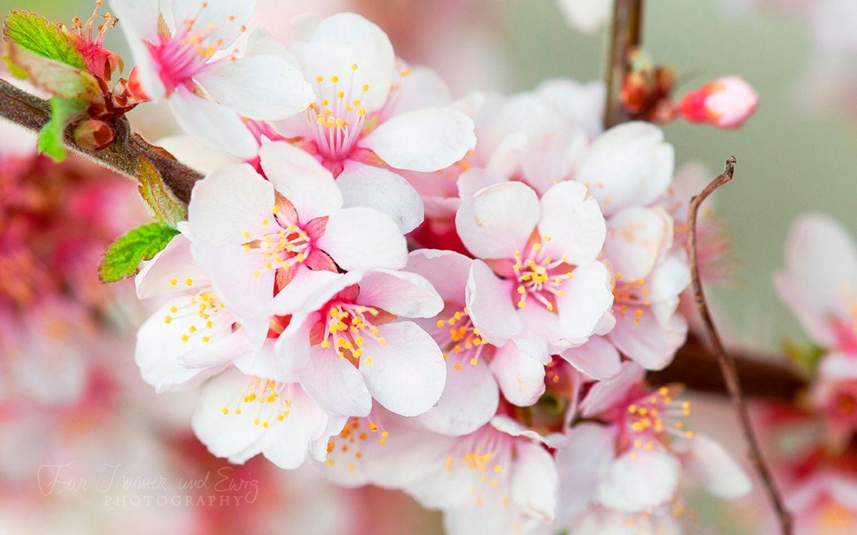 Фото бесплатно вишня, сакура, цветки, бутоны, лепестки, весна, тепло, ветка, дерево, цветы, цветы