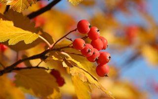 Заставки ягода,рябина,гроздь,ветка,листья,желтые,природа