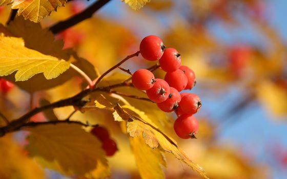 Бесплатные фото ягода,рябина,гроздь,ветка,листья,желтые,природа