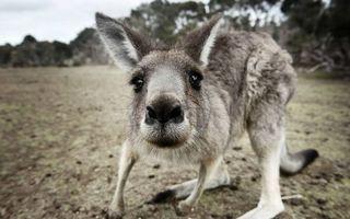 Бесплатные фото кенгуру,селфи,песок,лес,пляж,уши,глаза