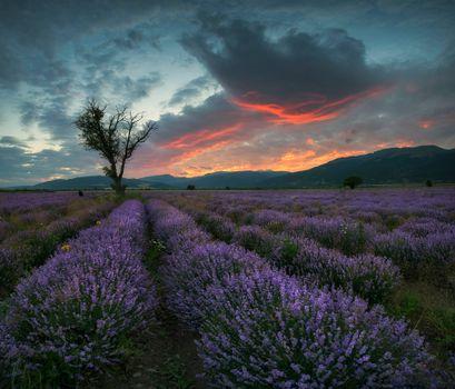 Фото бесплатно поле, закат, лаванда