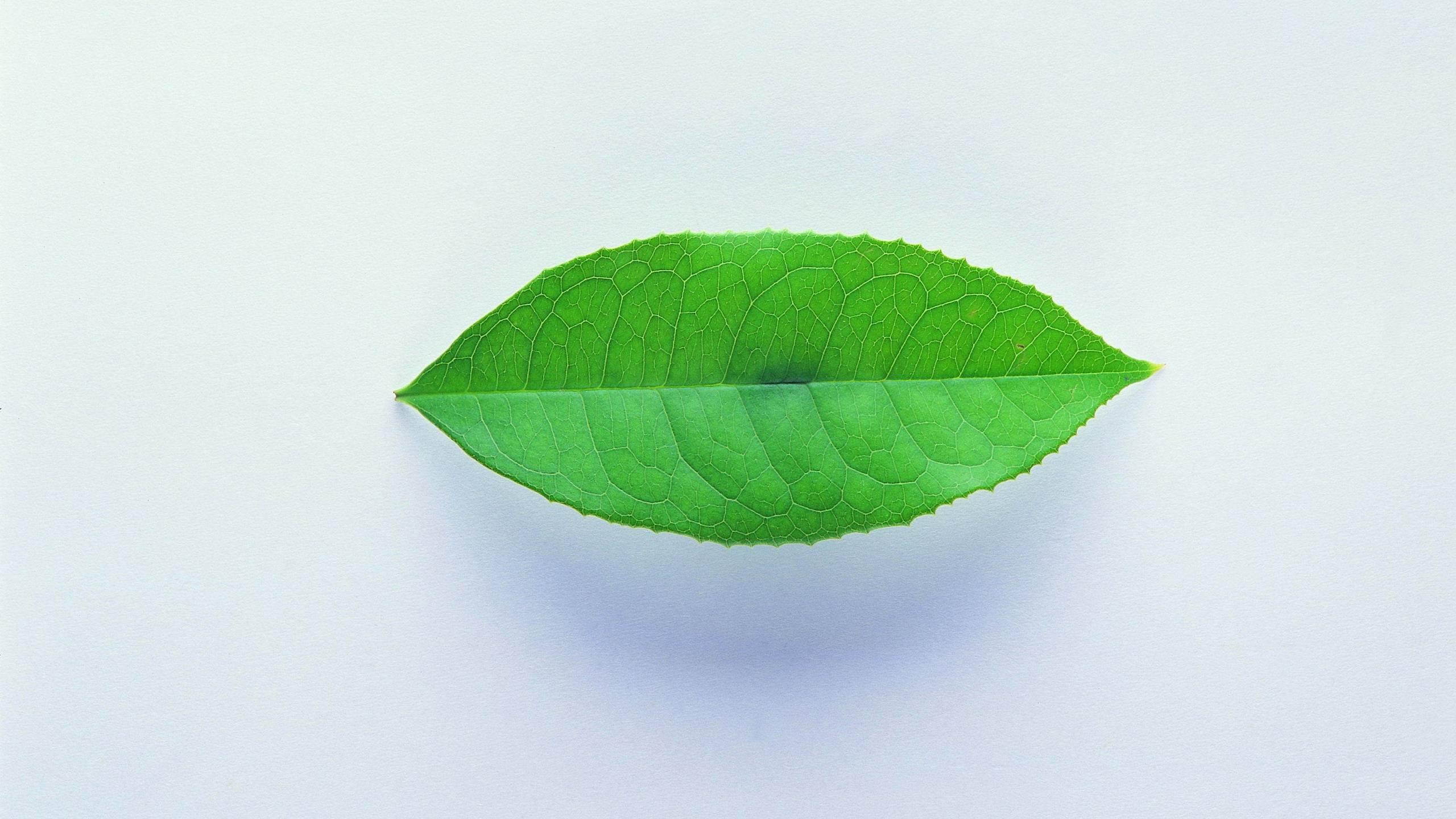 Обои лист, зеленый, прожилки, фон белый