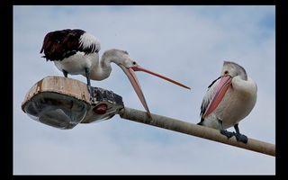 Бесплатные фото фонарь,птицы,черно-белые,клювы,перья,небо