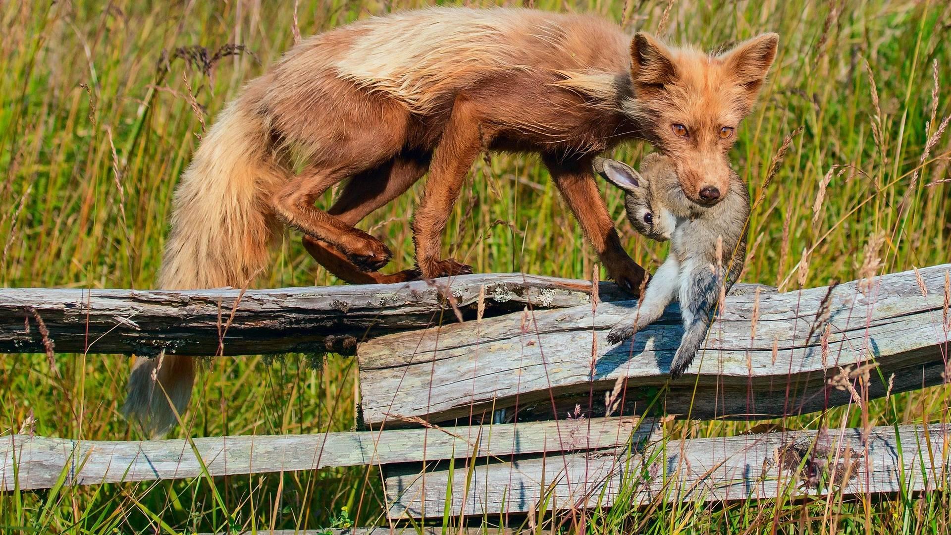 Обои кайот, добыча, кролик