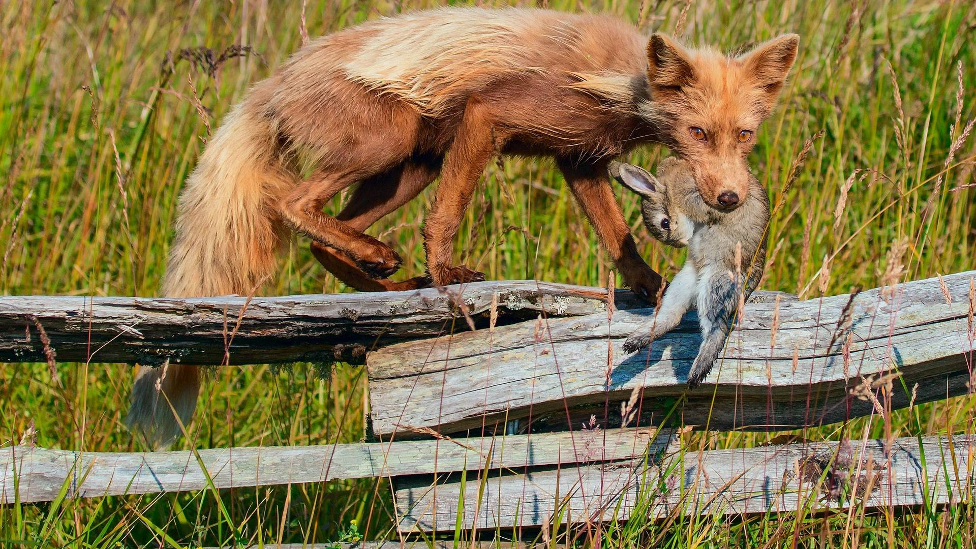 обои кайот, добыча, кролик картинки фото