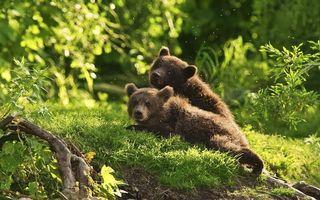 Фото бесплатно медвежата, поляна, солнце