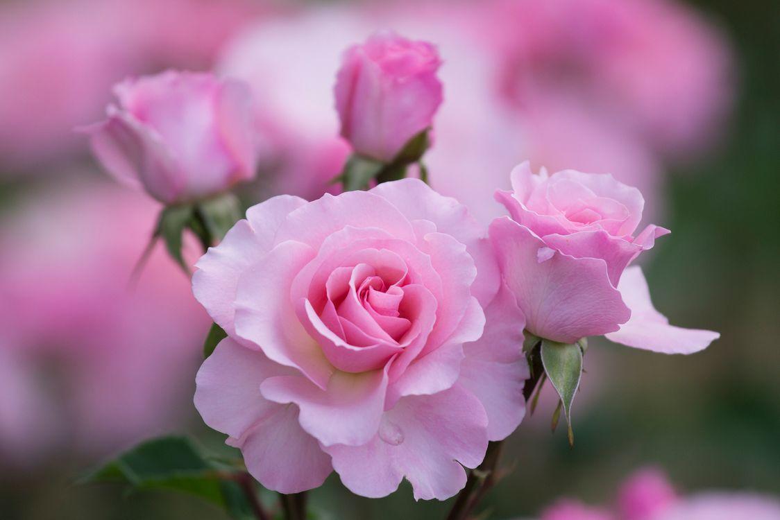 Картинки на телефон нежные розы