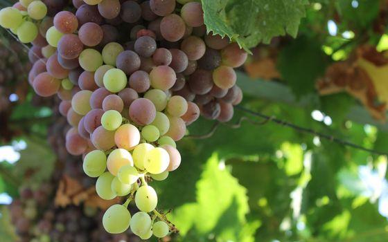 Бесплатные фото виноград,грозди,ягода,листья