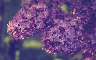 Бесплатные фото сирень,цветет,лепестки,ветви
