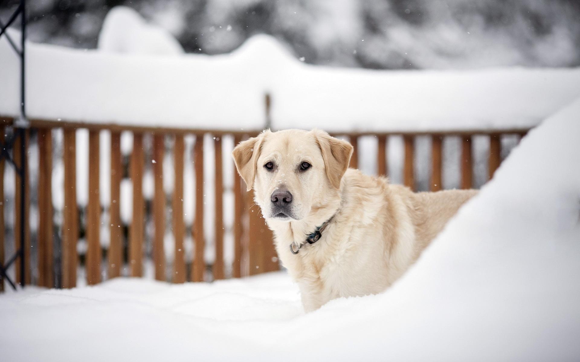 зима, пес, морда