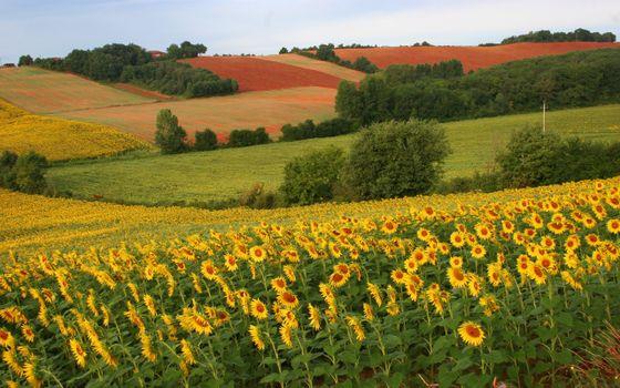 Фото бесплатно подсолнухи, кусты, поля