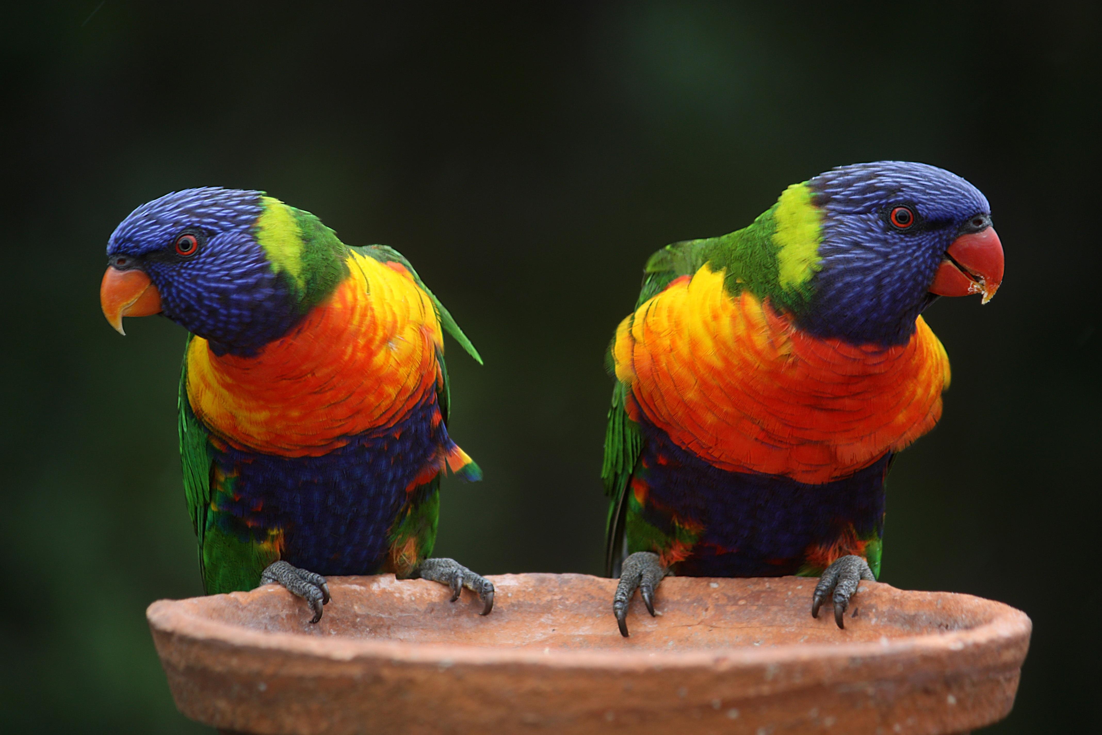 Обои rainbow lorikeet, australia, Радужный или многоцветный лорикет, попугай