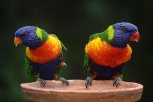 Бесплатные фото rainbow lorikeet,australia,Радужный или многоцветный лорикет,попугай