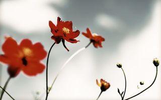 Бесплатные фото цветочки,лепестки,бордовые,бутоны,стебли