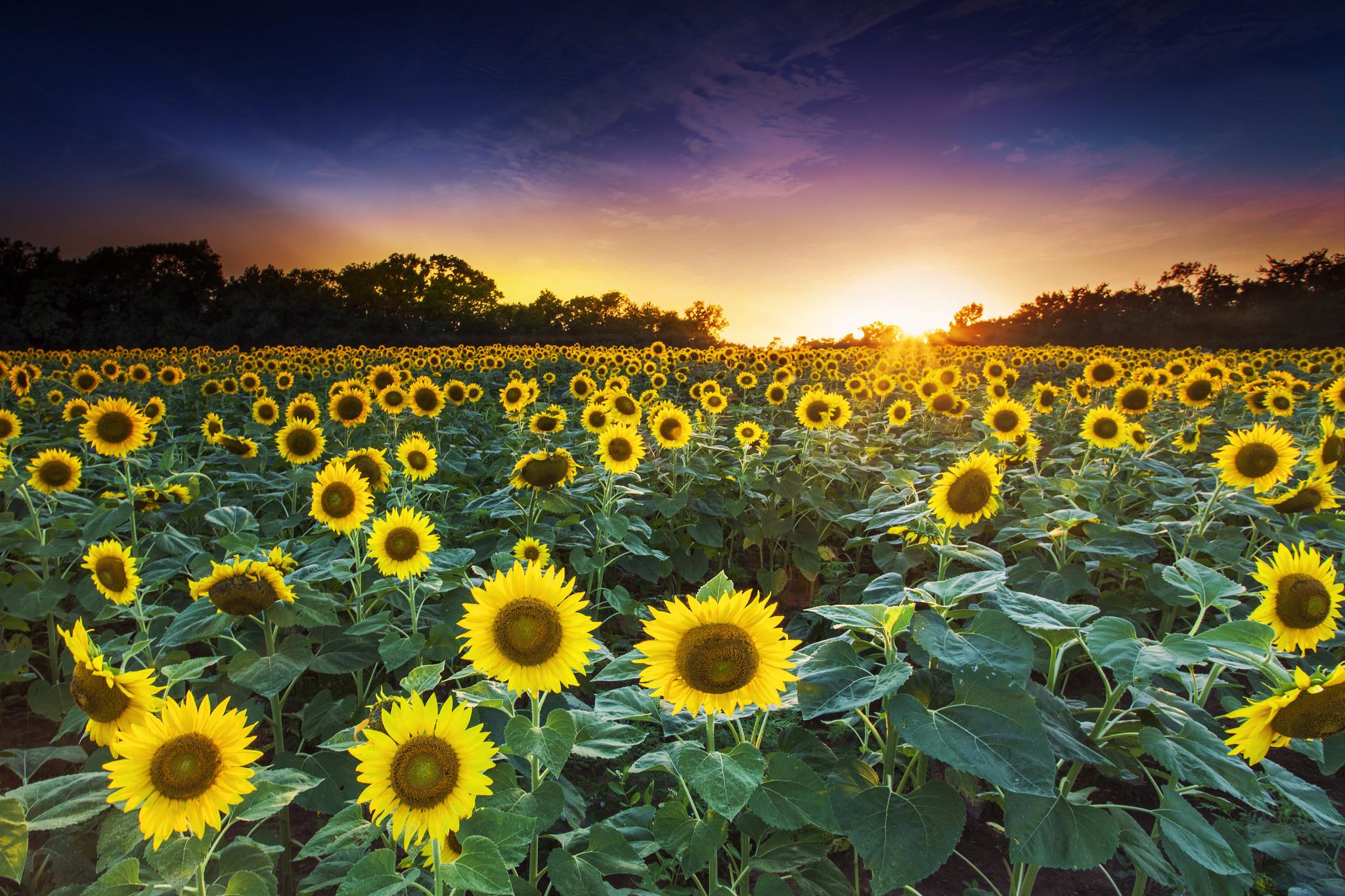 обои закат, поле, подсолнухи, пейзаж картинки фото