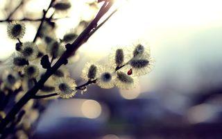 Фото бесплатно Весенняя верба, распустившаяся, ветка