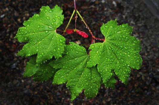 ветка, листья, роса, капли, макро