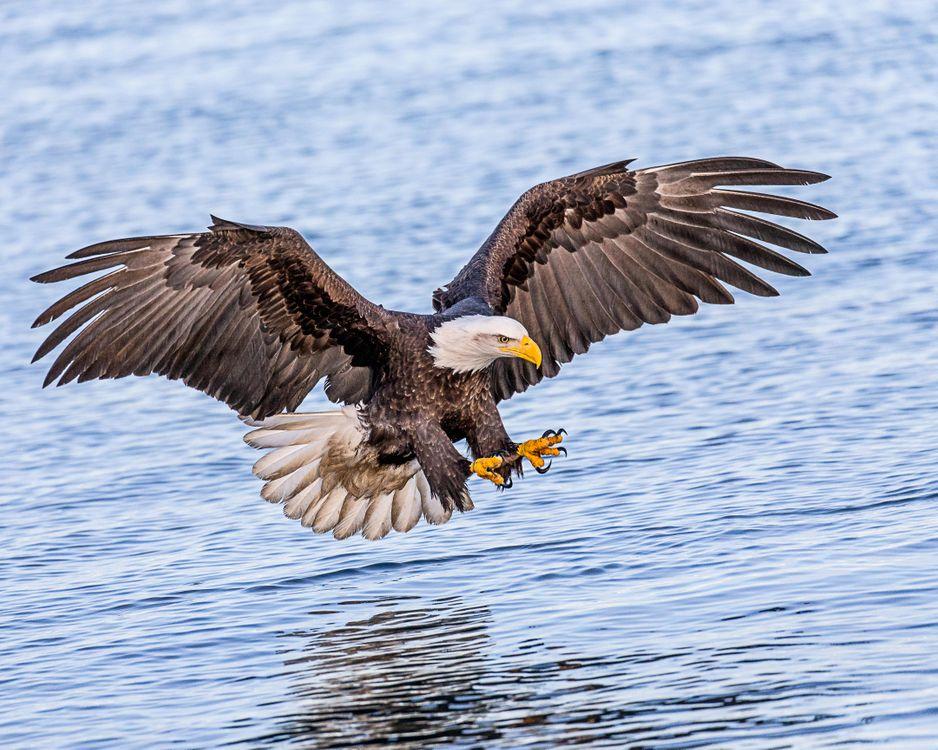 Фото бесплатно Белоголовый орлан, птица, хищник - на рабочий стол