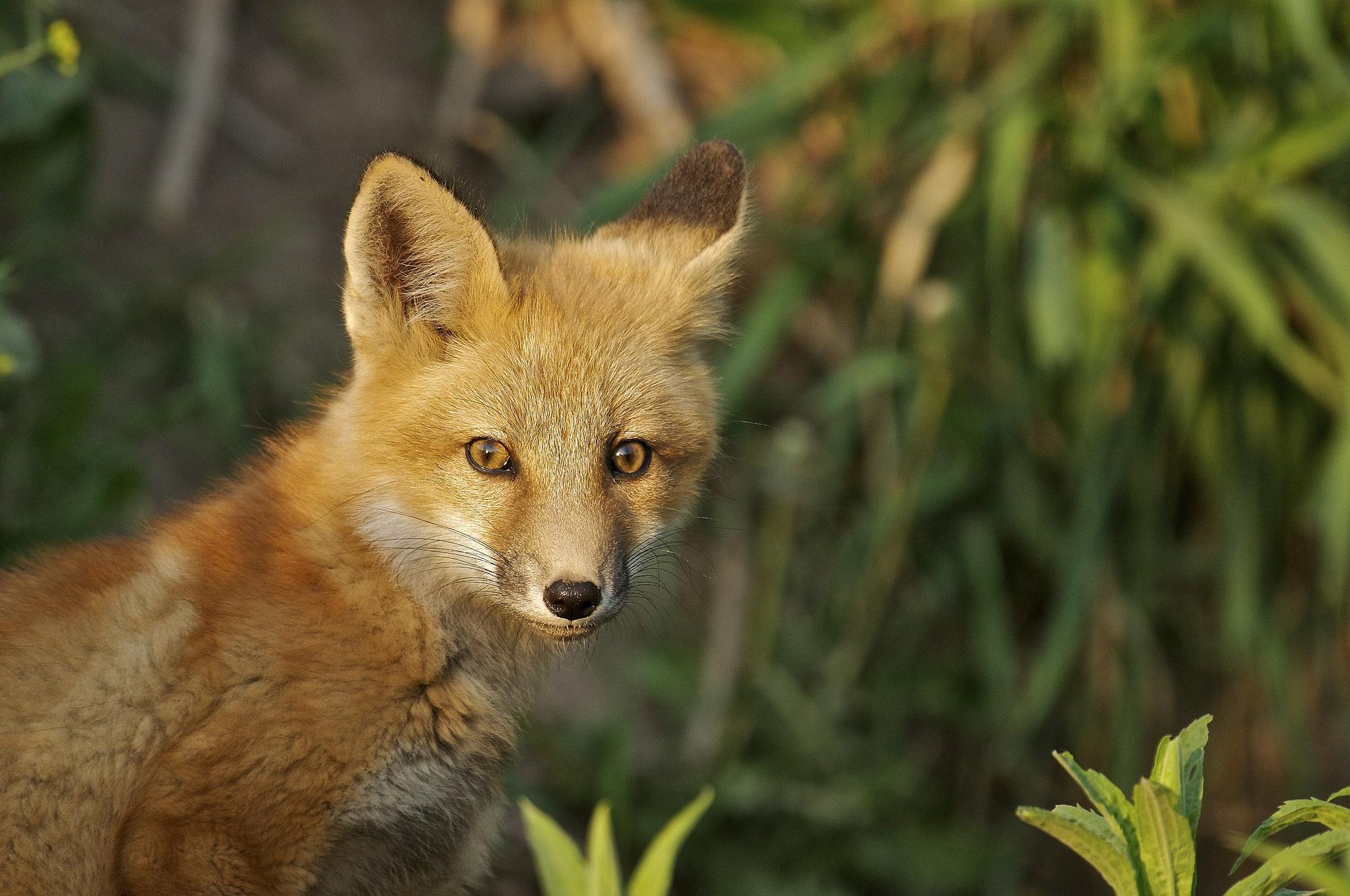 Обои лисята, лисёнок, лиса, лисица