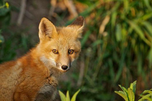Фото лиса, лисица без регистрации