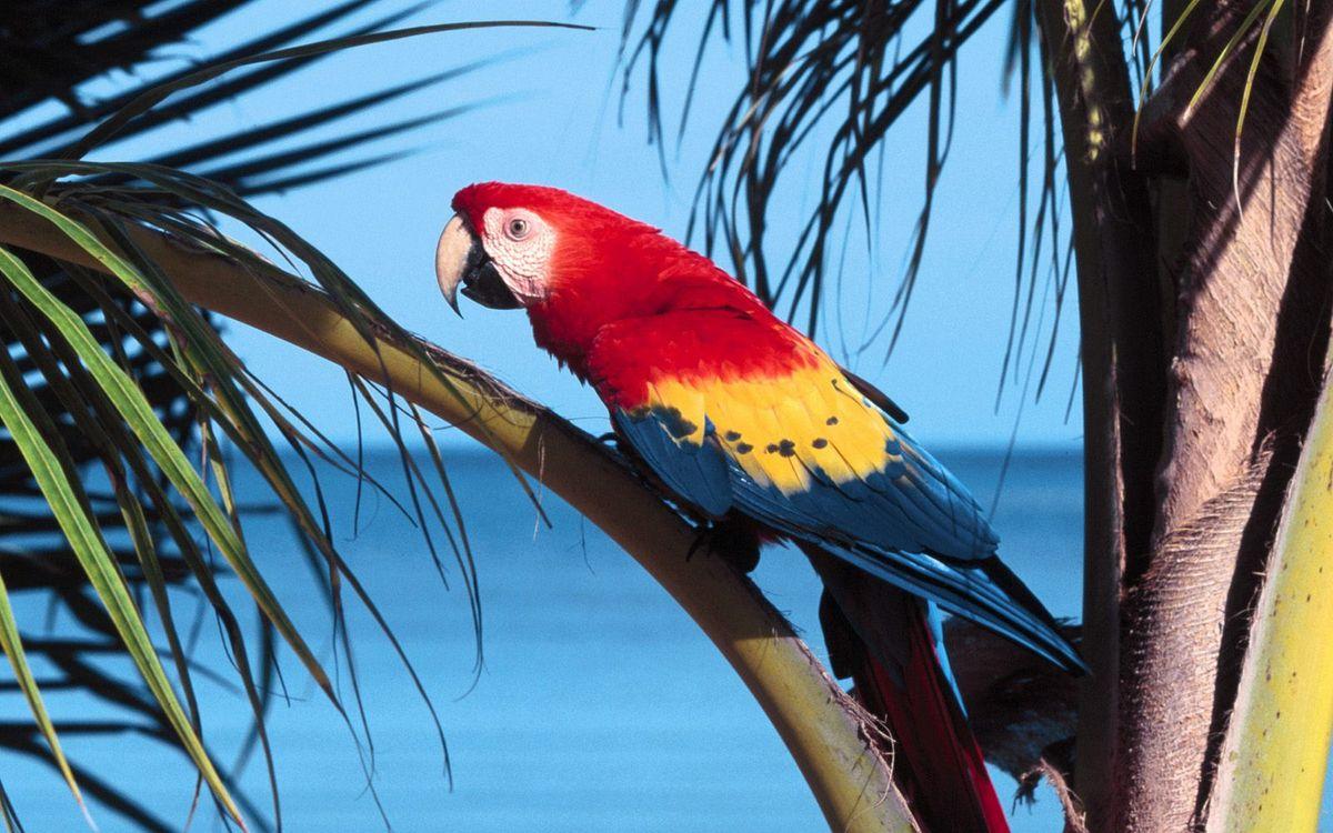 Фото бесплатно попугай, ара, клюв, перья, цветные, пальма, птицы